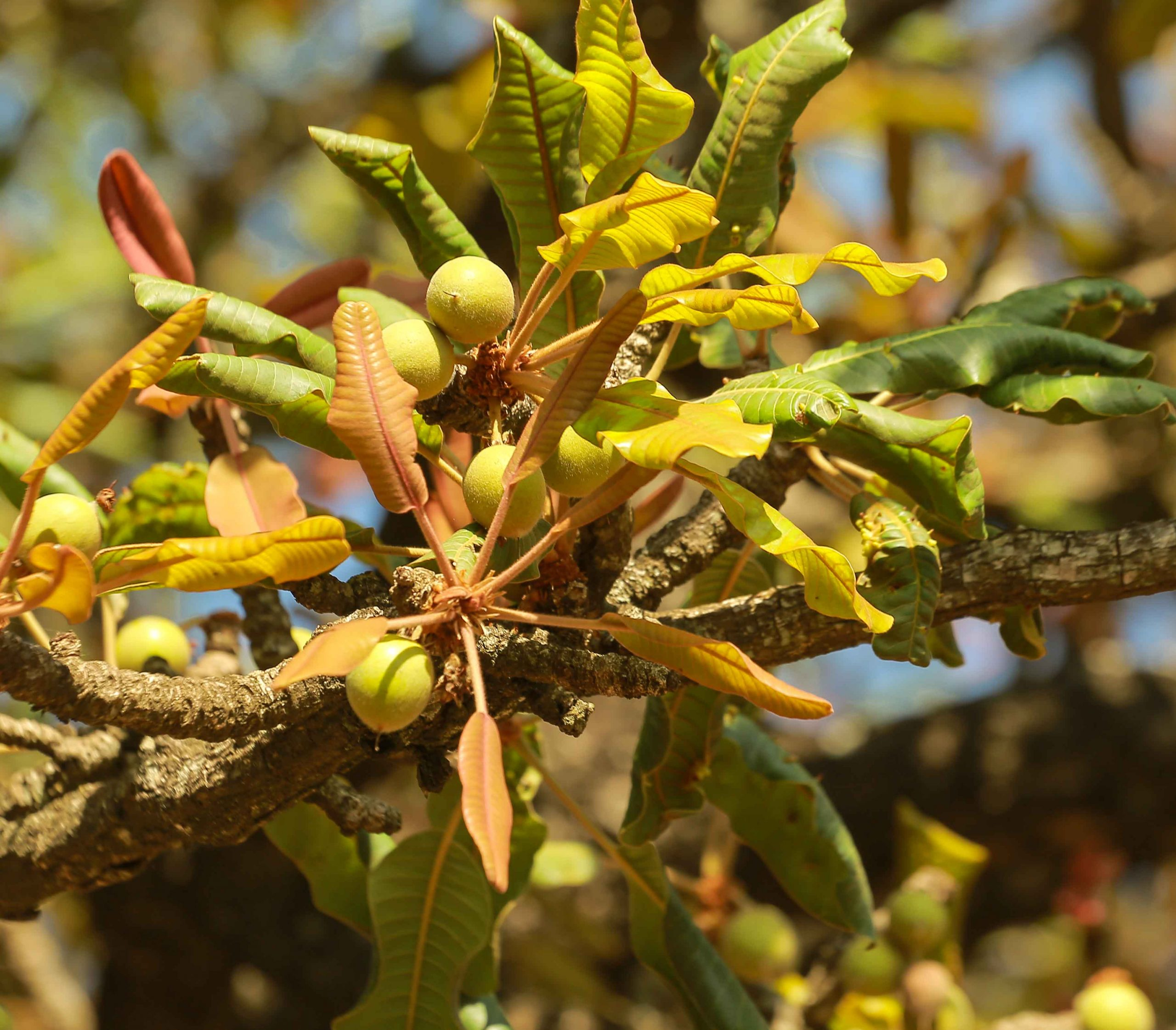 Nilotica fruits on the shea trees