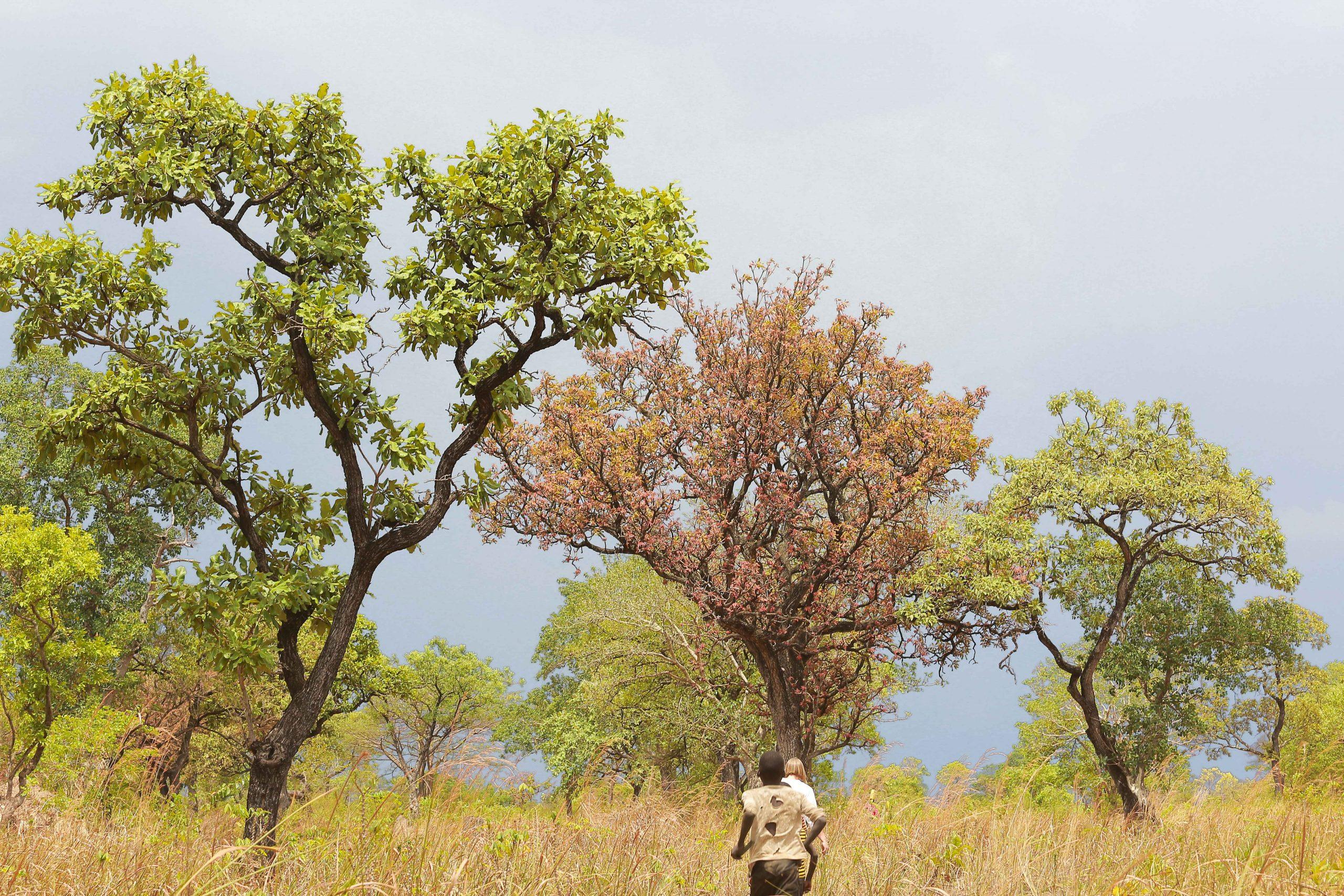 Wild nilotica trees in north uganda